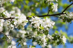 Apple blossom tree on blue sky Stock Images