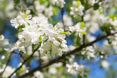 Apple blossom tree on blue sky Stock Photo