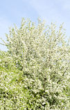 Apple blossom tree and blue sky in Royalty Free Stock Photo