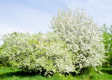 Apple blossom tree and blue sky Royalty Free Stock Photo