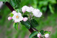 Apple blossom. Apple-tree branch with a flower in the garden close-up background Stock Image