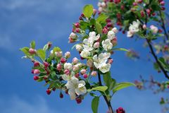 Apple Blossom, Tree, Branch, Spring Royalty Free Stock Photography