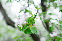 Apple blossom tree branch Royalty Free Stock Photography