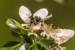 Apple blossom tree bumble honey bee flower collecting pollen closeup makro Royalty Free Stock Photo