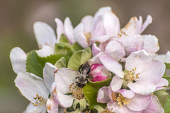 Apple blossom tree bumble honey bee flower collecting pollen closeup makro Royalty Free Stock Images