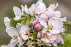 Apple blossom tree bumble honey bee flower collecting pollen closeup makro Royalty Free Stock Image
