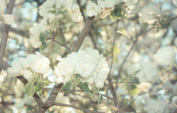 Apple blossom tree Stock Image