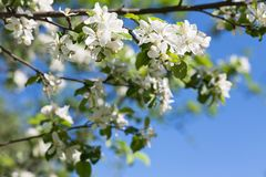 Apple blossom tree on green background Stock Photo