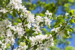 Apple blossom tree on green background Royalty Free Stock Photo
