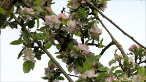 Apple blossom on tree in spring stock video