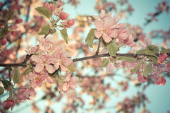 Apple blossom tree. Toned photo. Royalty Free Stock Images