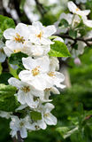 Apple blossom on the tree Royalty Free Stock Photography