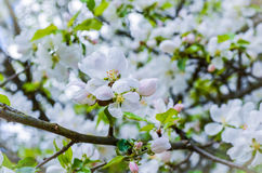 Apple blossom. Apple trees are full in blossom royalty free stock photography