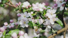 Apple blossom, trees with pink and white flowers stock footage