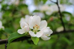 Apple blossom. Apple twig with a bouquet of flowers Royalty Free Stock Images