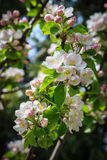 Apple blossom vertical Stock Photos
