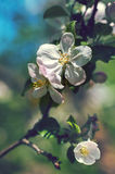 Apple blossom vintage background Stock Photos