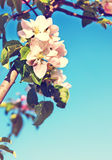 Apple blossom vintage background Royalty Free Stock Photography