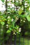 Apple blossom. Stock Photography