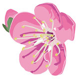 Apple blossom. On a white background Royalty Free Stock Image