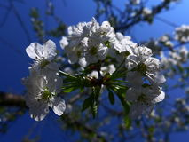 Apple blossom - white. White apple blossom on blue sky background Royalty Free Stock Image