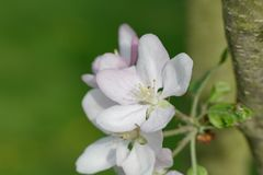 Apple blossom white flower close up Stock Images