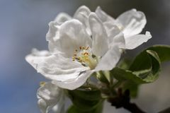 Apple blossom white flower close up Stock Image