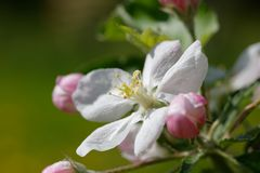 Apple blossom white flower close up Royalty Free Stock Photo