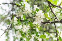 Apple blossom. Stock Photos
