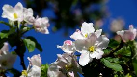 Apple blossom stock video