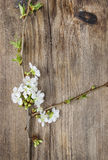 Apple blossom on wooden background royalty free stock photo