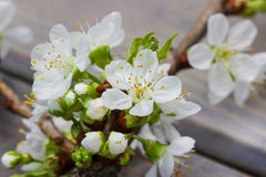Apple blossom on wooden background stock photo