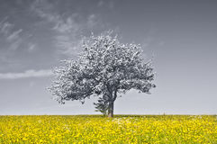 Apple blossom on a yellow meadow Stock Images