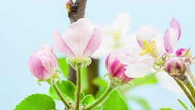 Apple blossoming timelapse stock footage