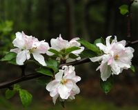 Apple Blossoms. On a tree growing in a northern Virginia orchard. Photographed just after a rain shower stock photo