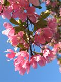 Apple Blossoms. Apple tree branch with blossoms on blue sky background royalty free stock photo