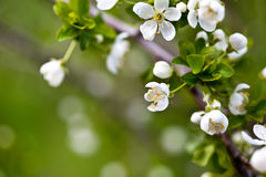 Apple Blossoms Royalty Free Stock Photography