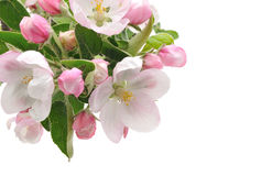 Apple Blossoms. Royalty Free Stock Image