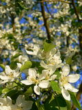 Apple Blossoms. White apple blossoms in the spring Stock Photos