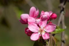 Apple blossoms Royalty Free Stock Image