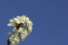Apple blossoms Stock Photos