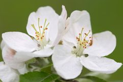 Free Apple Blossoms Royalty Free Stock Photos - 9019938