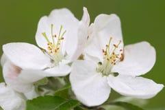 Apple blossoms. Closeup of apple blossoms (macro photo royalty free stock photos