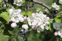 Apple Blossoms add to Spring Beauty. A close-up of a cluster of pink blushed white apple blossoms that contrast beautifully against the spring green of its Royalty Free Stock Photos