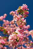 Apple blossoms against a blue sky Stock Photo