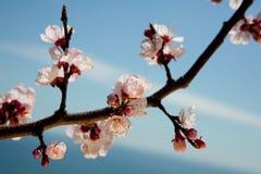 Apple blossoms against a blue sky Stock Photos