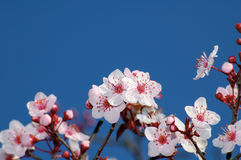 Apple  Blossoms Against Deep Blue Sky. Spring apple blossoms against deep blue sky. Selective focus on the central bunch Stock Photos