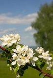Apple blossoms against the sky stock photos