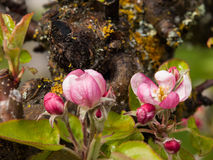 Apple Blossoms on Ancient Tree Stock Images