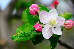 Apple blossoms and ants Royalty Free Stock Photography